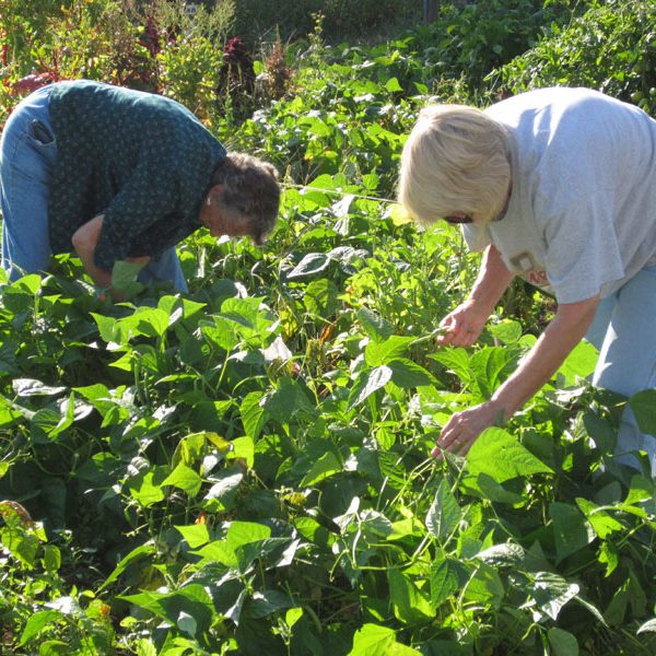 Ladies picking green beans in the Community Gardens